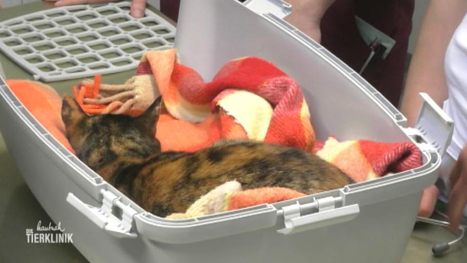 Katze Paula Blutet Aus Der Nase Und Bekommt Schlecht Luft