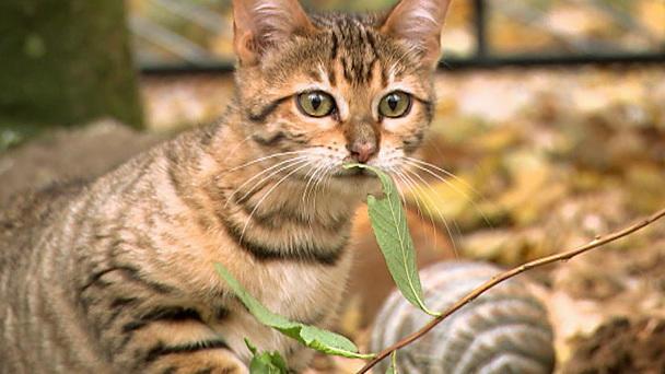 Eine Aussergewohnliche Katzenrasse Toyger