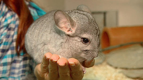 Chinchilla Umzug