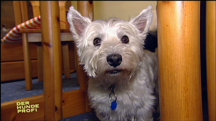 West-Highland-Terrier Charly auf Konfrontationskurs